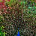 The Peacock by Dawn Santos