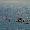 The Pelicans Hunting by Viktor Savchenko