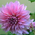 The Pink Dahlia-flower2 by Saifon Anaya