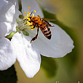 The Pollinator by Robert Bales