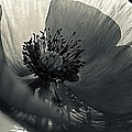 The Poppy by Marysue Ryan