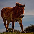 The Przewalski Horse Equus Przewalskii by Dawn OConnor