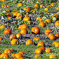 The Pumpkin Patch by Sharon Talson