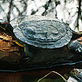 The Red Eared Slider by Steve Taylor