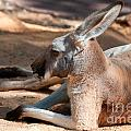 The Resting Roo by Rob Hawkins