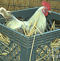 The Rooster That Laid A Golden Egg by Donna Brown