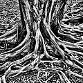 The Root by Ekojanu Sp