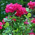 The Rose Garden by Tanya Tanski