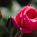The Rose by John Blanchard
