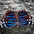 The Royal Blue Butterfly by David Patterson