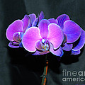 The Shade Of Orchids by Donna Brown