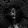 The Spider And The Fly . Black And White by Wingsdomain Art and Photography