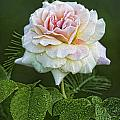 The Splendor Of The Rose by Kathy Clark