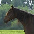 The Stallion by Steve K