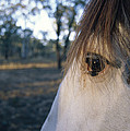The Staring Eye Of A Clydesdale Horse by Jason Edwards