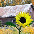 The Sunflower And The Barn by Bill Cannon
