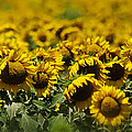 The Sunflower Patch II by Lisa Moore
