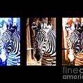 The Three Zebras Black Borders by Rebecca Margraf