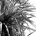 The Tourist Pineapple Black And White by Angela DiPietro