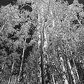 The Two Split Trees Bw by Mitch Johanson