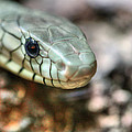 The Western Green Mamba by JC Findley