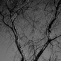 The Widow Tree by Darlene Bell