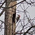 The Woodpecker by Bill Cannon