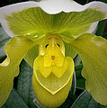 The Yellow Orchid by Nancy Griswold