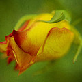 The Yellow Rose by Diane Dugas