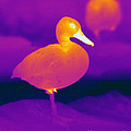 Thermogram Of A Cinnamon Teal Duck by Ted Kinsman
