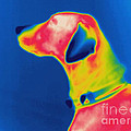 Thermogram Of A Dog by Ted Kinsman