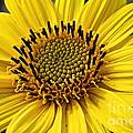 Thinleaf Sunflower by Susan Herber