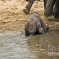 Thirsty Young Elephant by Darcy Michaelchuk