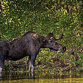 This Is Our World - No.16 - Moose Eating By The Lake by Paul W Sharpe Aka Wizard of Wonders