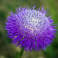 Thistle I by Tamyra Ayles