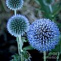 Thistle In Bloom by Shirleen Mitchell