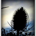 Thistle In The Sky by Danielle  Parent