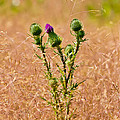 Thistle by Mitch Shindelbower