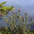 Thistle On The Mountain by Grace Dillon