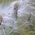 Thistle Seeds by Bob Christopher