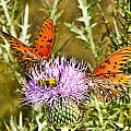 Thistlefly by Sheri Bartoszek