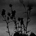 Thistles by Hakon Soreide