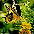 Thoas Swallowtail #1 by Rebecca Morgan
