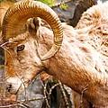 Thompson Falls Ram by William Kelvie
