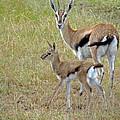 Thomsons Gazelle by Tony Murtagh