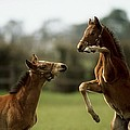 Thoroughbred Foals Playing by The Irish Image Collection