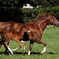 Thoroughbred Mare And Foal Galloping by The Irish Image Collection