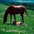 Thoroughbred Mare And Foal, Ireland by The Irish Image Collection