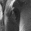 Thoughts Of The Elephant by Maggy Marsh