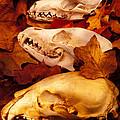 Three Animal Skulls by Garry Gay